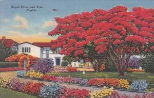 Royal Poinciana Tree In Florida 1955