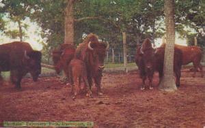 Iowa Davenport Buffalo In Fejervary Park 1909