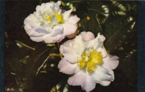 Alabama Mobile Beautiful Bessie Morse Camellia Bellingrath Gardens