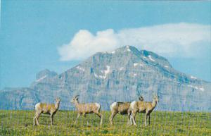 Bighorn Sheep in the Canadian Rockies