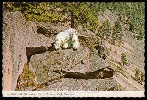 Rocky Mountain Goat - Glacier National Park