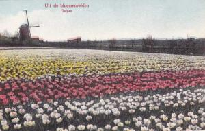 Tulip Fields in The Netherlands - DB