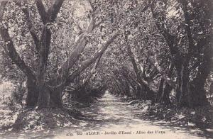 Algeria Alger Jardin d'Essai Allee des Ficus