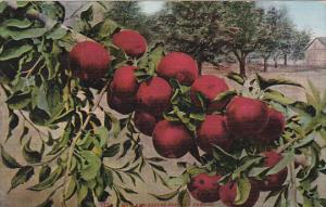 Edward H Mitchell Howard Apples Grown In Oregon