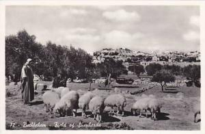 RP, Flock Of Sheep, Field Of Shepherds, Bethlehem, Palestine, 1920-1940s