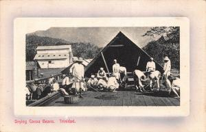 Trinidad Drying cocoa beans Vintage Postcard