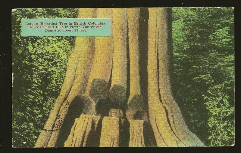 Canada Postmark 1946 Vancouver BC Largest Recorded Tree in BC Color Postcard