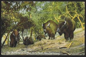 Buffalos in Golden Gate State Park San Francisco California Unused c1910s