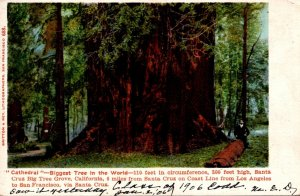 California Santa Cruz Big Tree Grove Cathedral Biggest Tree In Th...