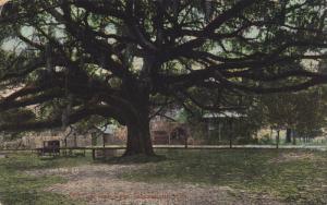 JACKSONVILLE, Florida, 1900-1910's; Old Liye Oak Tree