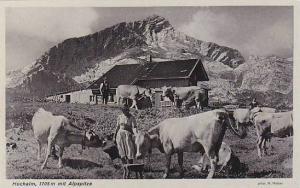 Cattle, Hochalm, 1705m Mit Alpspitze, Bavaria, Germany, 1900-1910s