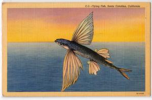 Flying Fish, Catalina Island CA