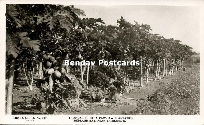 australia, REDLAND BAY, Q., Paw-Paw Plantation, Tropical Fruit (1950s) RPPC