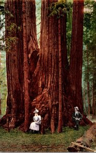Giant Redwood Trees 1912