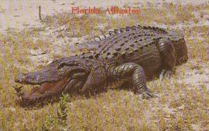 Florida Alligator Keep Away He's Hungry