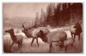 463  herd of Roosevelt Elk