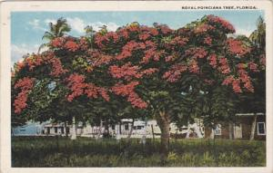 Florida Royal Poinciana Tree In Full Bloom Curteich