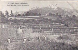 BRUNO COURT , GRASSE , France , 00-10s , Cueillette des Fleurs de Cassie