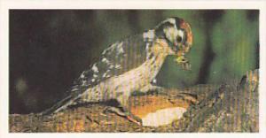 Brooke Bond Vintage Trade Card Woodland Wildlife 1980 No 17 Lesser Spotted Wo...