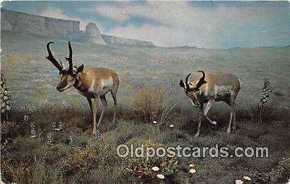 American Antelope Postcard Post Card  American Antelope