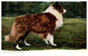 Dog  ,Collie