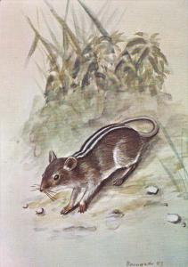 Wildlife , MOZAMBIQUE , 1983 ; Rhabdomys Pumilio