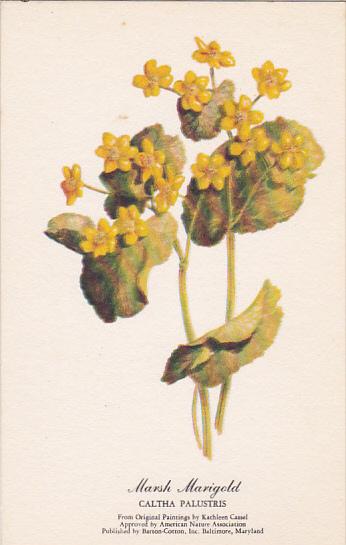 Marsh Marigold Kathleen Cassel Hippostcard