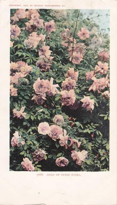 Gold of Ophir Roses - Flowers - UDB - Detroit Photo 1903
