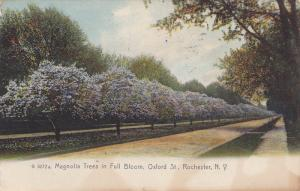 Magnolia Trees In Full Bloom, Oxford St., Rochester, New York, PU-1910