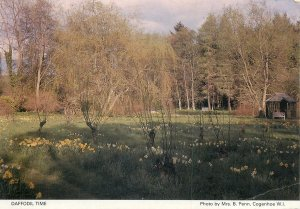 Daffodil time picturesque countryside area Postkarte
