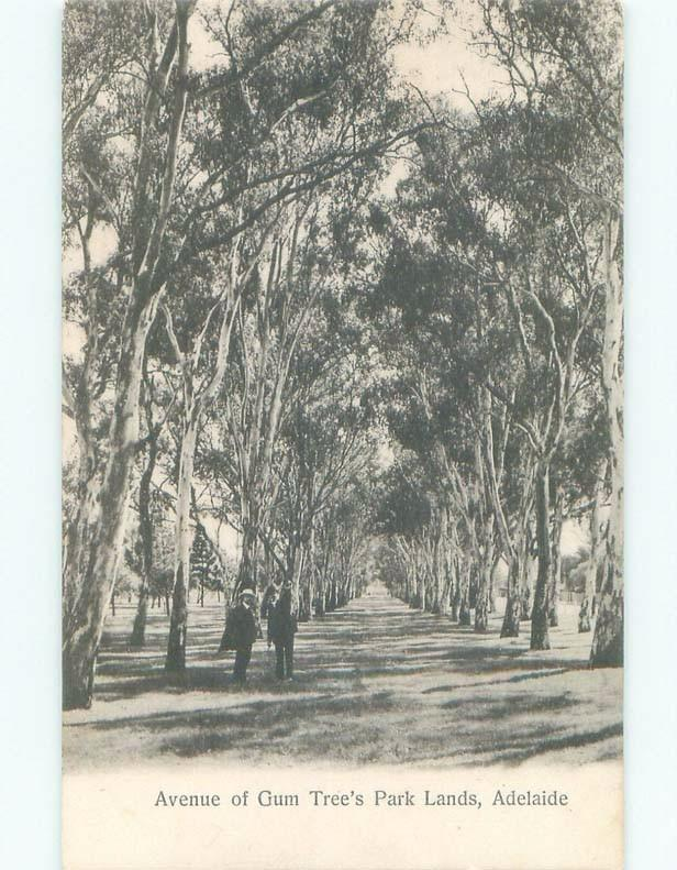 Unused Divided-Back AVENUE OF GUM TREES AT PARK LANDS Adelaide Australia c8142
