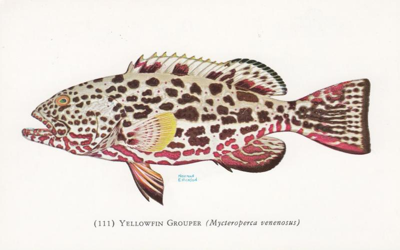 Fish ; Yellowfin Grouper , 50-60s