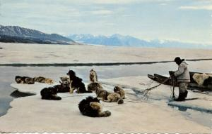 Dogs -  Sled Dog Team Resting on an Ice Floe