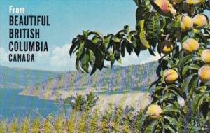 Canada Peach Orchards In Okanagan Valley British Columbia