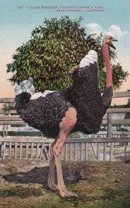 SOUTH PASADENA, California, 1900-1910s; Major McKinley, Cawston's Ostrich Farm