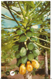 Postcard, Papaya Blossoms & Fruit Tropical Fruit Natural Hawaii Island Curteich