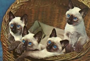 Blue-eyed Cats