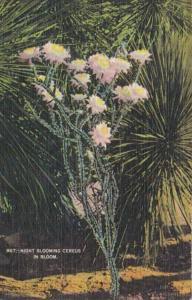 Night Blooming Cereus Cactus In Bloom