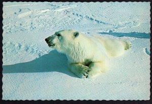 Alaska Polar Bear Photo by Lee Miller, Anchorage - Cont'l