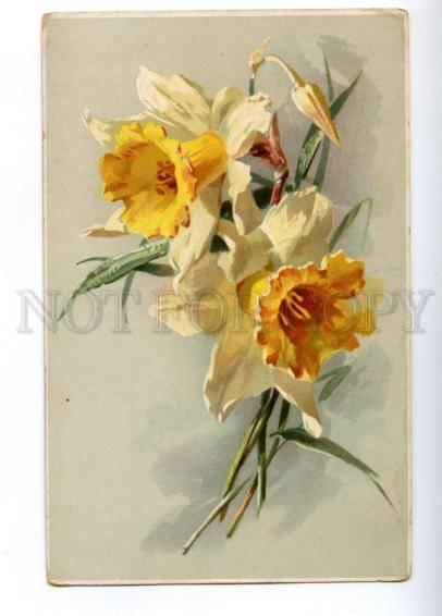 148544 Narcissus Daffodil by C. KLEIN vintage M.&L. PC