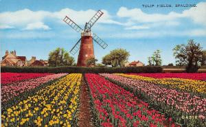 England Spalding Tulip Flowers Fields, Windmill (South Holland, Lincolnshire)