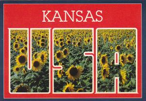 Field Of Sunflowers In Kansas