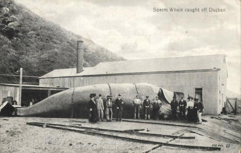 south africa, DURBAN, Sperm Whale Caught, WHALING (1910s)