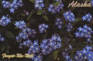 Alaska AK State Flower Alaskan Forget-Me-Nots Blue Unused Postcard D31