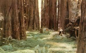 Lady Tourist in Redwood Forest CA, California