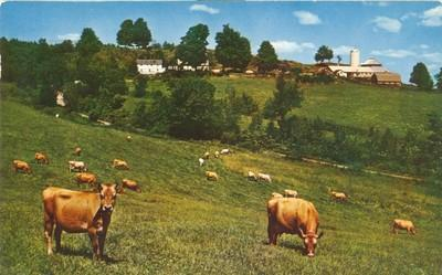 Cattle in the Field, 1958 used Postcard