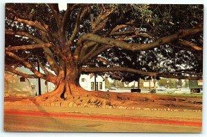 VTG Postcard California Moreton Bay Fig Tree Santa Barbara Dave Mills Dexter A4