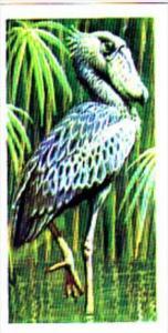Brooke Bond Trade Card Tropical Birds No 4 Shoebill
