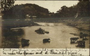 Cows in River - Selinsgrove PA Cancel 1907 Real Photo Postcard