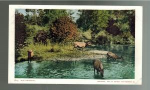 Elk Drinking by River Detroit Photographic Company RPPC Real Photo Postcard